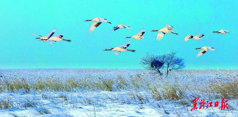 丹顶鹤扎龙自然保护区 省摄影家协会提供