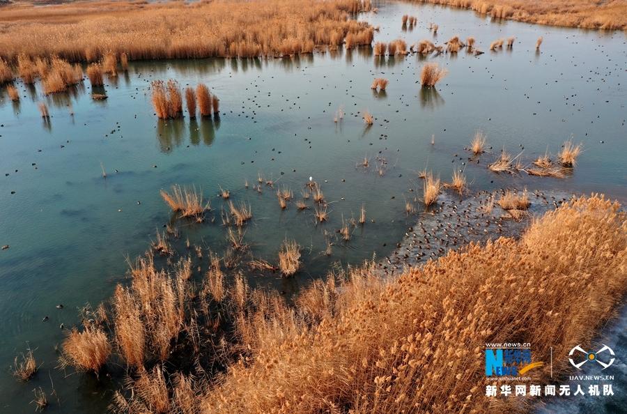 航拍张掖戈壁湿地:芦苇披金 冰湖如镜
