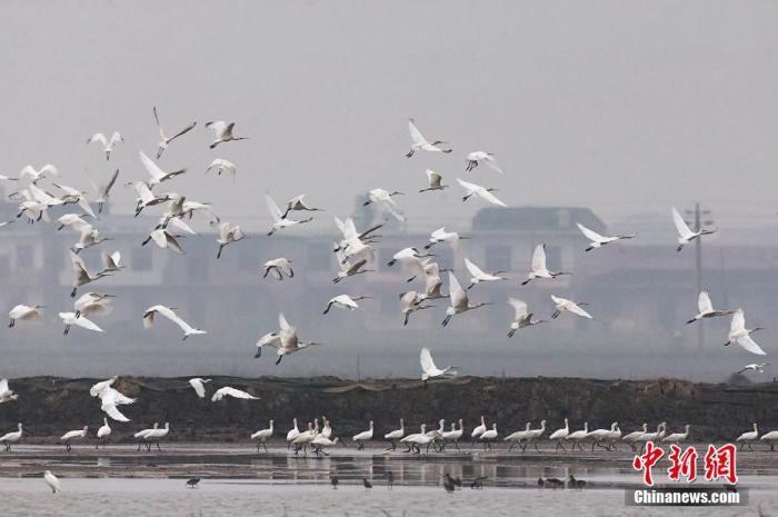 图为鄱阳湖区的过冬候鸟群。 (资料图)江西九江永修县委宣传部供图