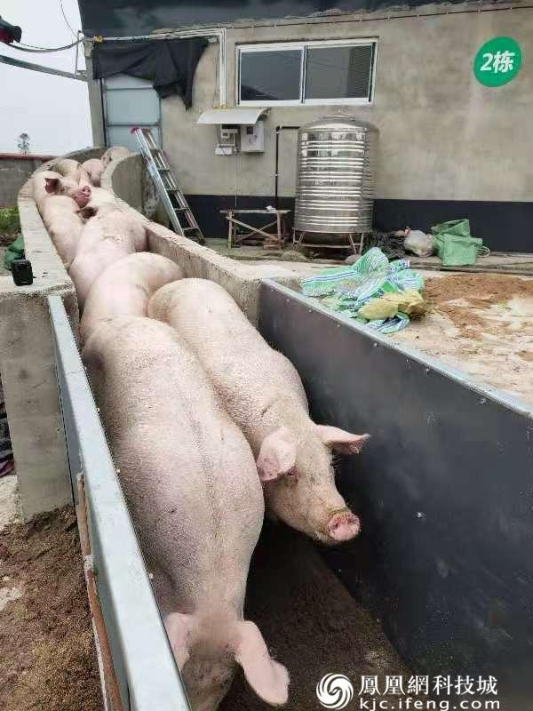 2000余头生猪出栏  安州区河清镇同心村集体经济入账15万余元