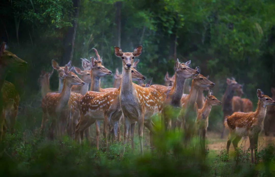 ▲桃红岭梅花鹿国家级自然保护区