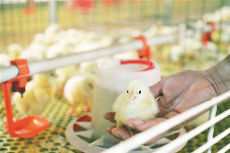 红星乡宏顺鸡养殖场刚刚新进一批鸡雏。 董新英摄
