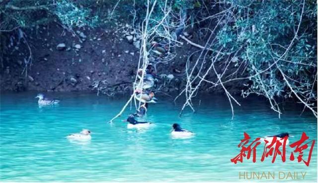 南山国家公园:中华秋沙鸭伴鸳鸯戏水栖息