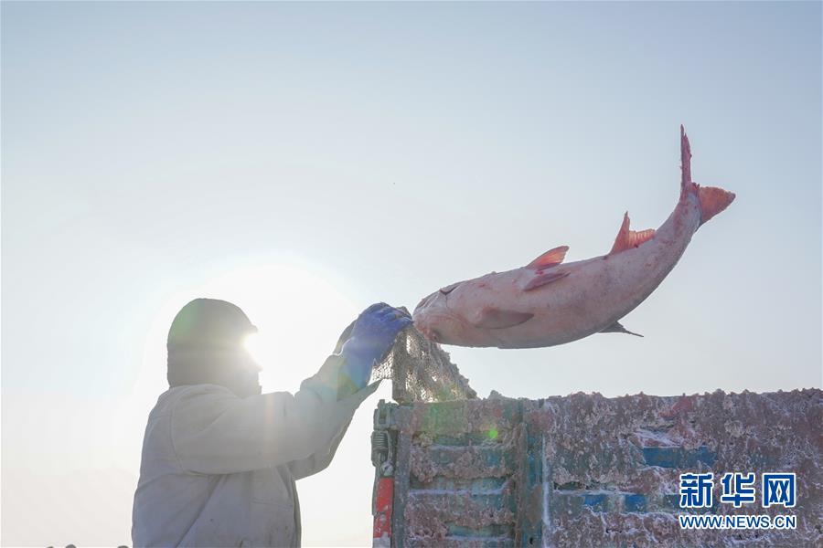 12月27日,在查干湖冰面上,工人将刚打捞上来的大鱼扔上货车。新华社记者 张楠 摄