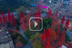 江西峡江:杉红柿熟 梦回老家