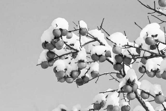 雪打柿子甜如蜜