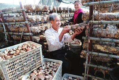 在天津农学院科技帮扶下,蓟州区出头岭镇菇农刘自军培植的花菇喜获丰收。