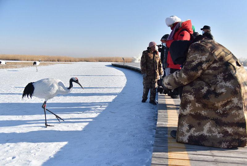 1月11日,丹顶鹤吸引游人驻足观看。梁冬 摄