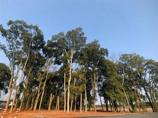 环城路下村千秋岭段旁边的樟树林。