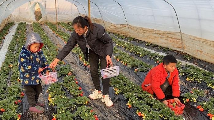 媳妇带儿子去摘草莓,看看摘了多少斤回家?爸妈听到价格不淡定了
