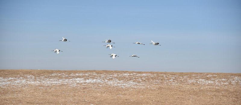 1月11日,丹顶鹤在蔚蓝的天空中展翅翱翔。梁冬 摄