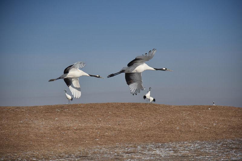 这是1月11日拍摄的丹顶鹤。梁冬 摄
