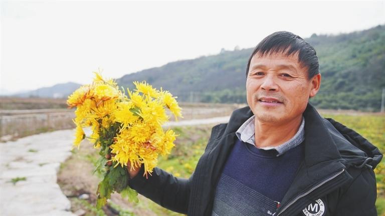 刚采摘的金丝皇菊非常漂亮。