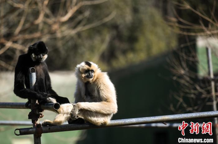 图为两只白颊长臂猿在户外享受阳光,憨态可掬。 韩苏原 摄