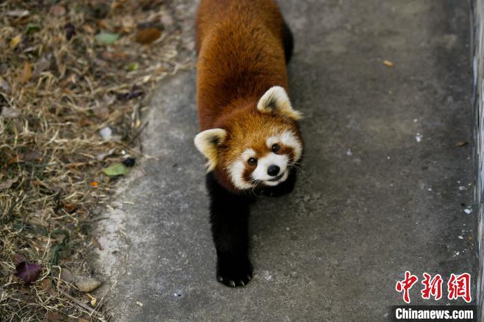 图为小熊猫在户外玩耍,享受暖阳。 韩苏原 摄