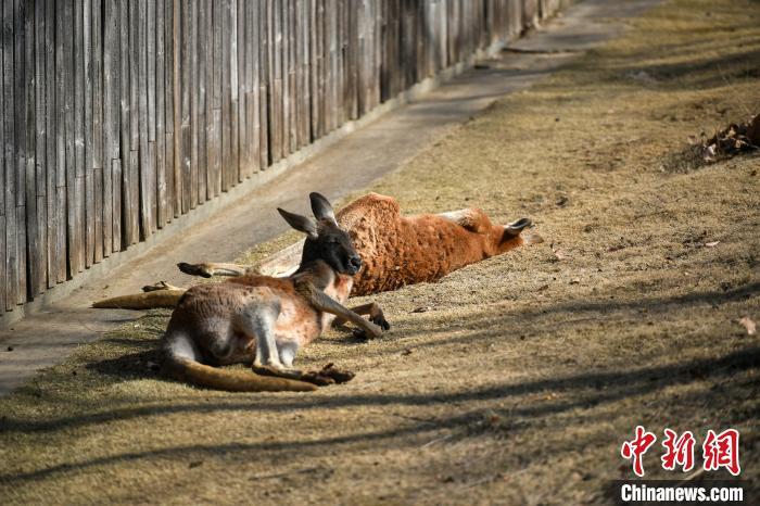 """图为袋鼠们在阳光下惬意午休,睡姿""""销魂""""。 韩苏原 摄"""