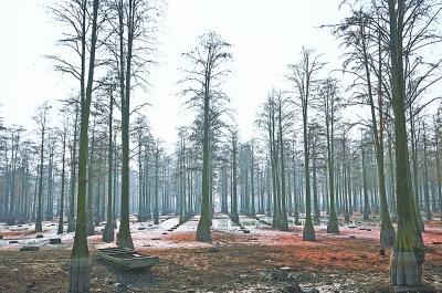 """2021年1月干塘捕鱼期间的""""水上森林""""。"""