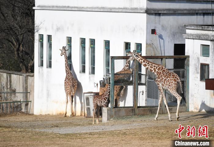 图为长颈鹿在户外享受冬日阳光。 韩苏原 摄