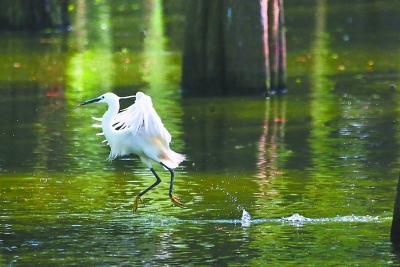 """""""水上森林""""是鹭鸟等夏候鸟的乐园。"""