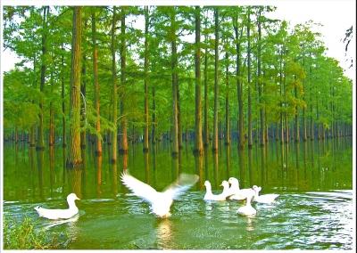"""""""水上森林""""曾经家鸭游弋。通讯员揭兴旺 摄"""