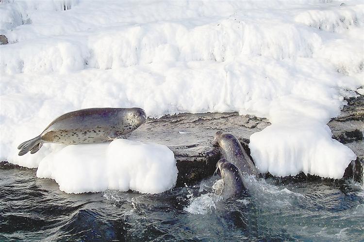 辽东湾斑海豹,是这样的小可爱_fororder_1