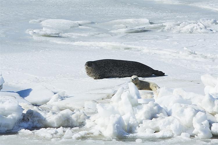 辽东湾斑海豹,是这样的小可爱_fororder_4