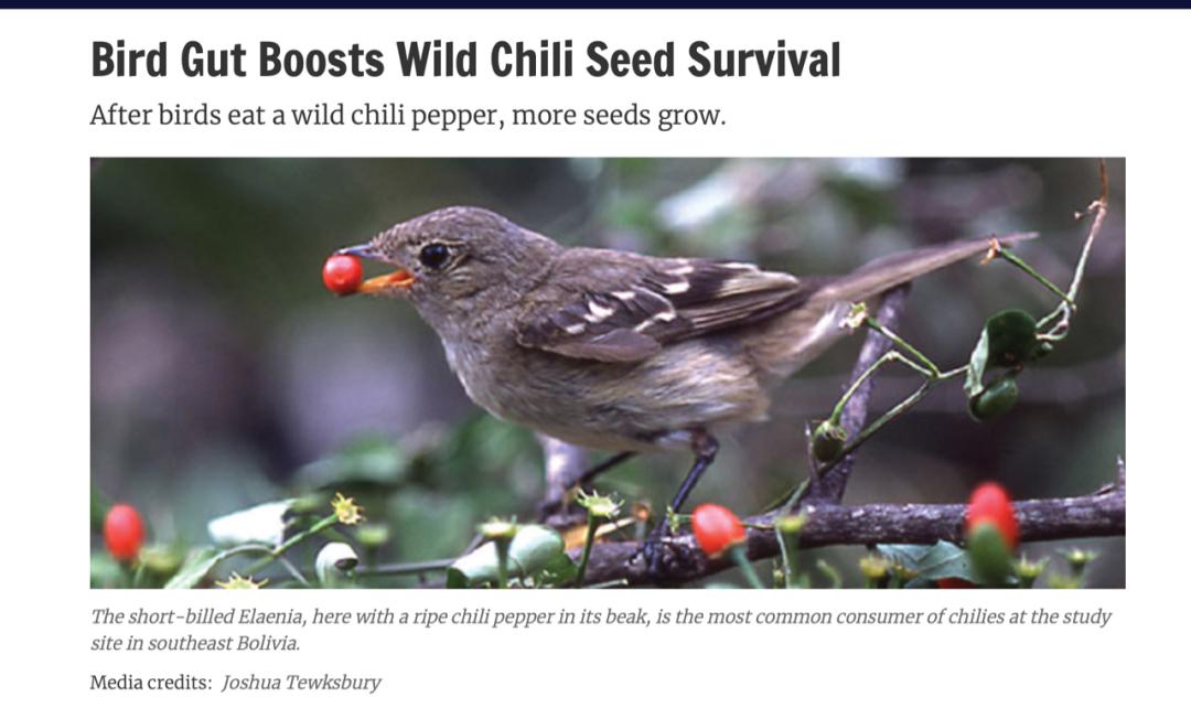 △据说鸟类肠道促进野生辣椒种子存活,才使辣椒种子传播至南美各地/insidescience