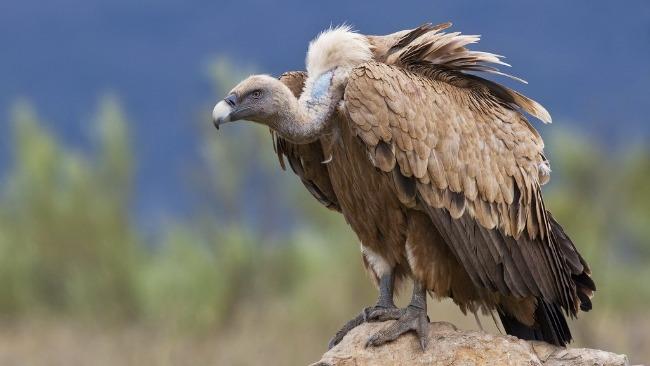 秃鹫被放生后溜回派出所蹭饭 警察苦劝:你不是一只鸡!