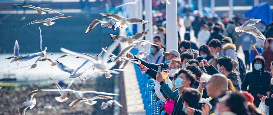 人与自然和谐相处 春节假期打卡青岛栈桥看群鸥翔集