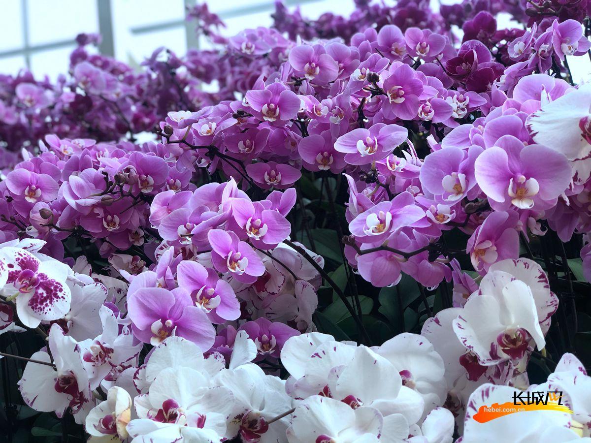 展厅内的植物景墙利用蝴蝶兰进行渐变色搭配,并用海棠衬托打底,使整个景墙如花瀑一般顺流而下,气势壮观。