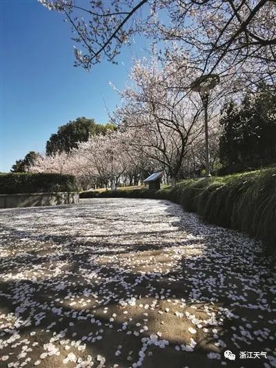 杭州滨江花园杏花 图片来源:都市快报