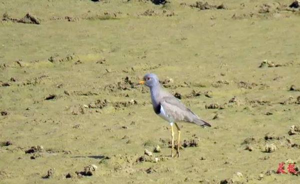 ▲夏候鸟灰头麦鸡 鄱阳湖国家级自然保护区供图