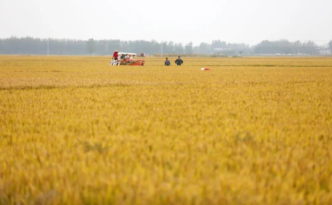 2018年10月15日,收割机在山东省临沂市郯城县郯城街道田间收获水稻。新华社发(张春雷 摄)