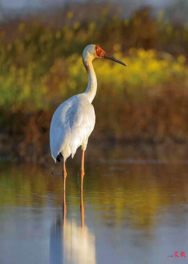 ▲五星白鹤保护小区内拍摄到的白鹤 五星白鹤保护小区供图