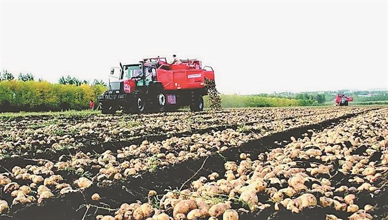马铃薯种植基地。资料片