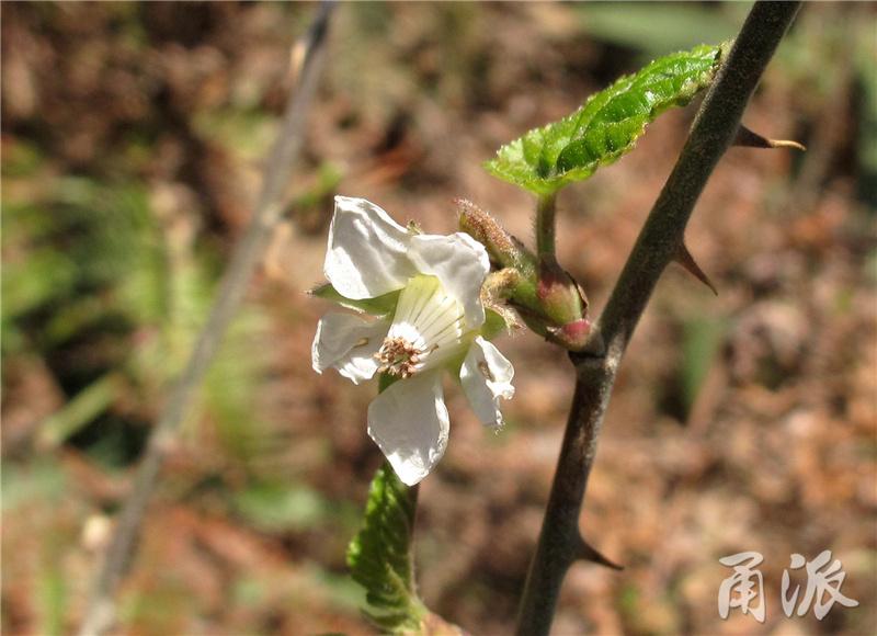 24——山莓.jpg