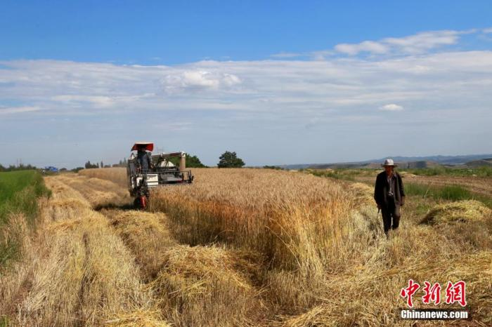 2020年7月上旬,在甘肃省平凉市崆峒区多地小麦种植区,连片的小麦迎来收割季。 万小莲 摄