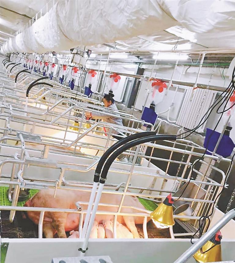 新希望生猪养殖建设项目落户伊春铁力市。 曲静摄