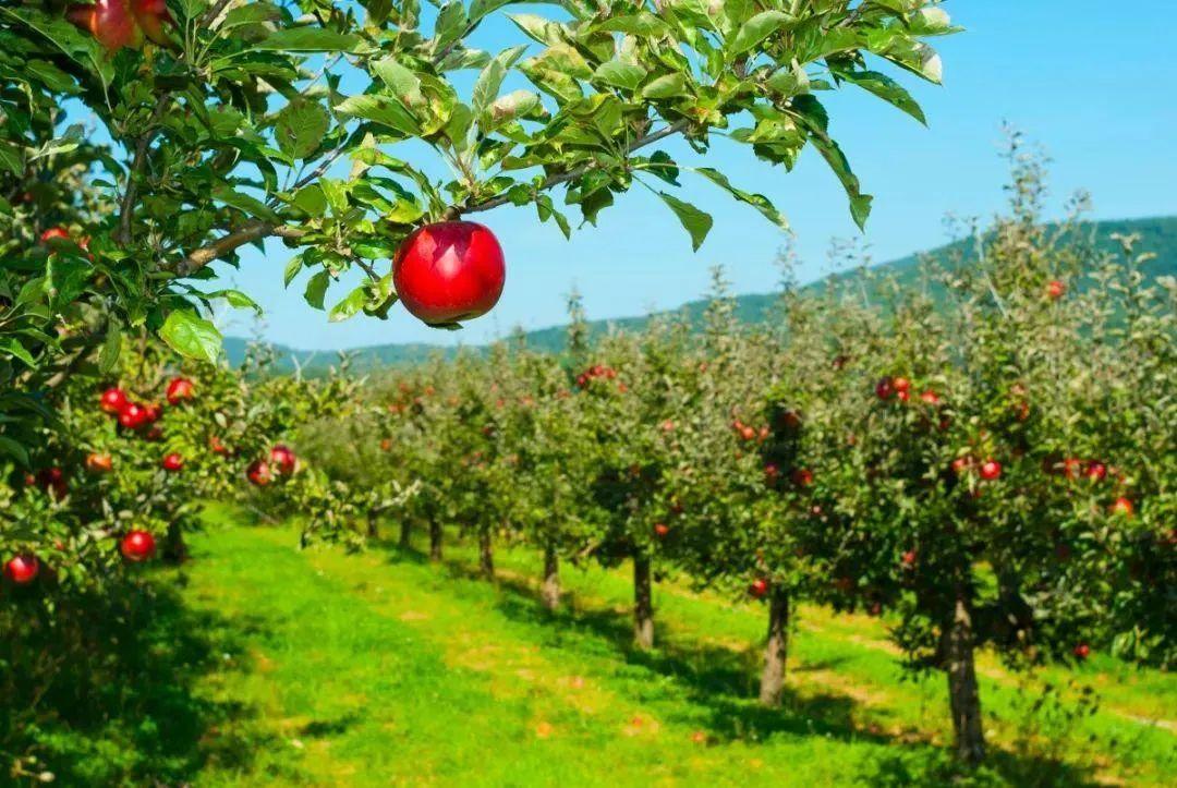 烟台果园培育的超级苹果
