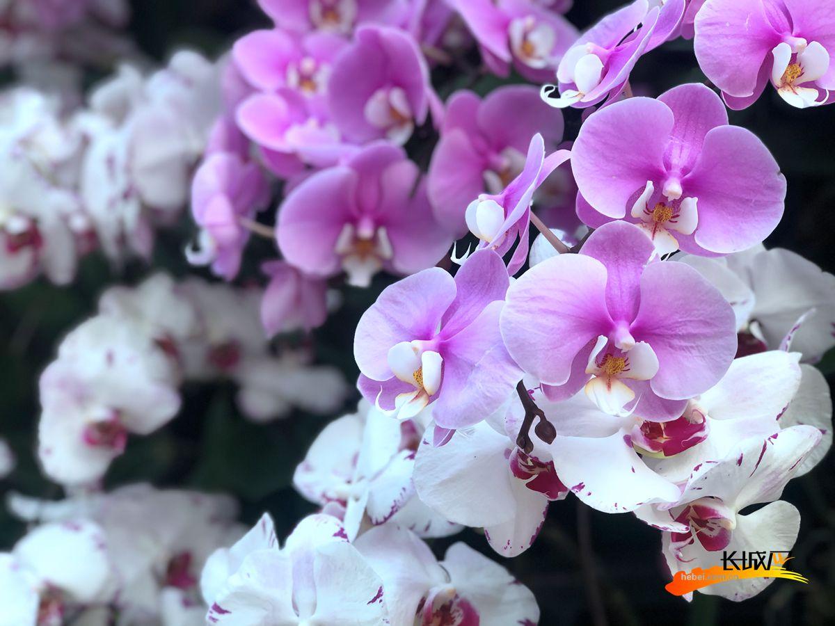 喜迎元宵佳节,石家庄植物园将从2月23日开始举办蝴蝶兰展。