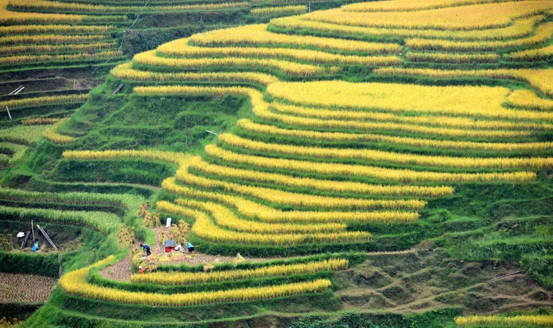 2018年9月12日,贵州省榕江县八开镇党央村农民在梯田里收获水稻。新华社发(石庆伟 摄)