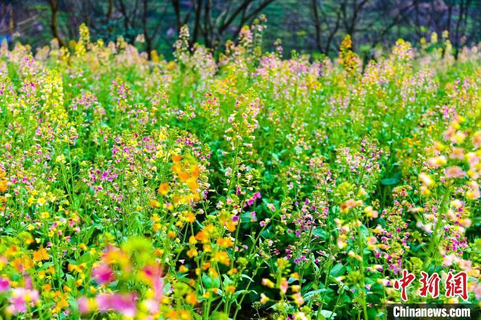 除了传统的金黄色油菜花之外,篁岭景区今年还种植了彩色油菜花,成为春日里的别样风景。 金洁 摄