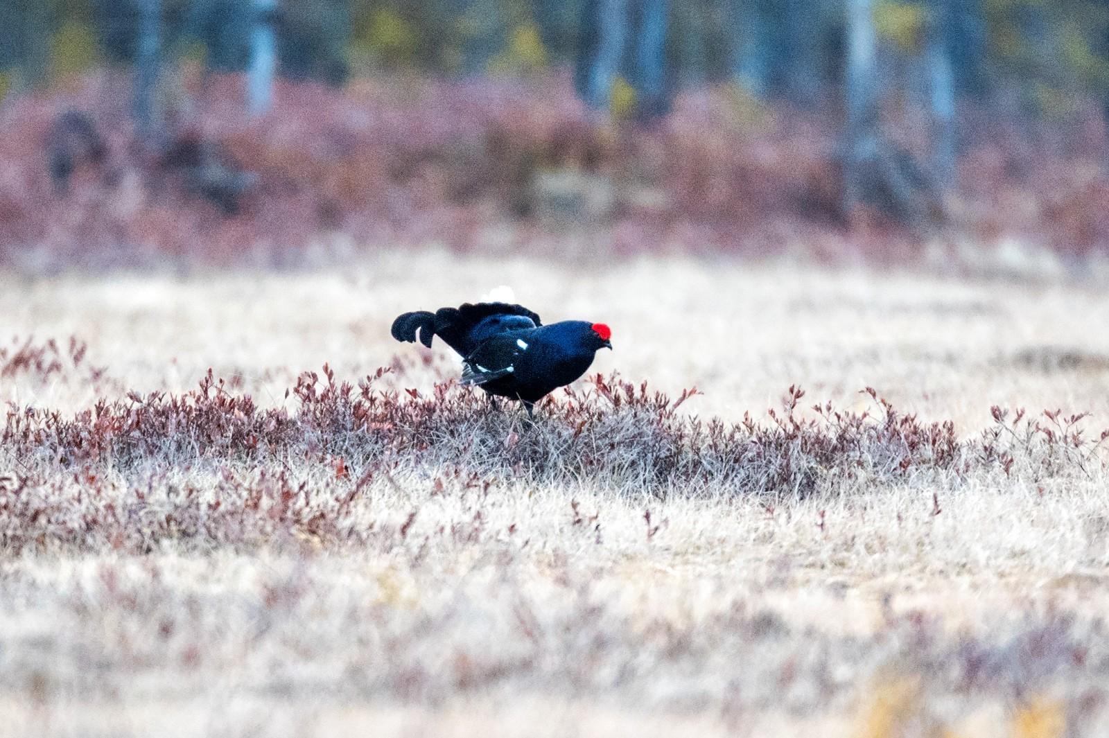 新增一级保护动物黑琴鸡(图片来源新华社)