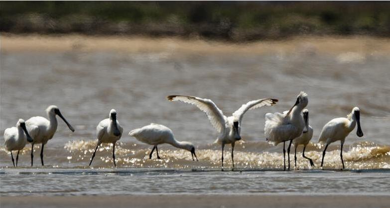 新增一级保护动物黑脸琵鹭(图片来源新华社)