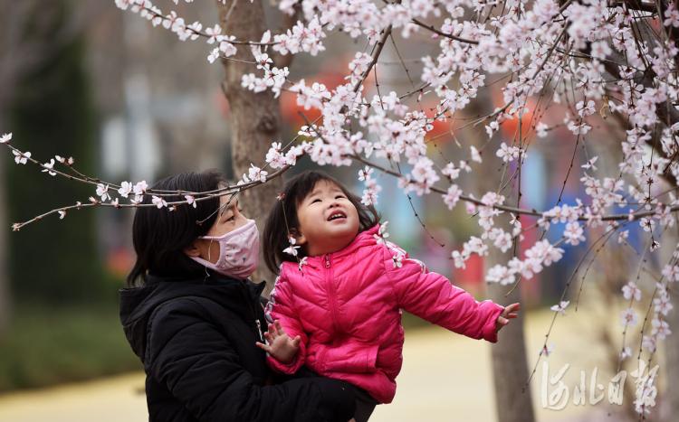 2021年3月11 日,市民在河北省邢台市南和区人民公园观赏山桃花。