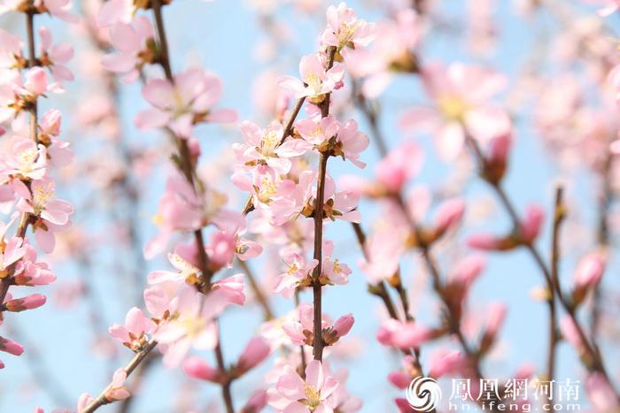 鹤壁有樱花,最美在淇滨!