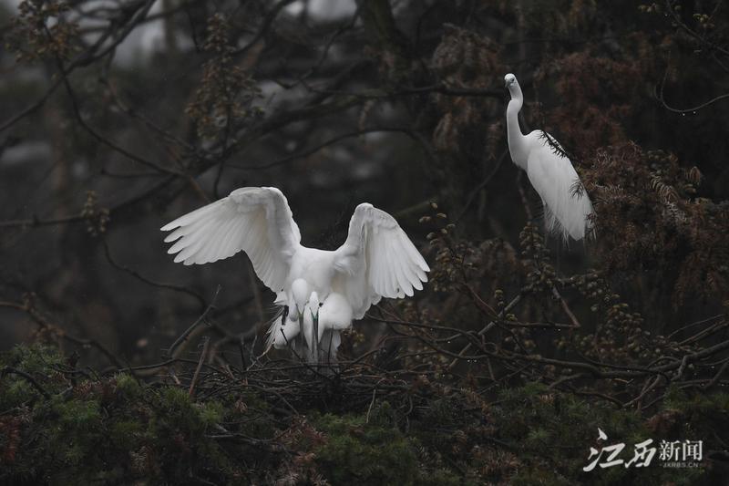 """南昌新建区象山森林公园迎来鹭鸟""""先头部队""""(图)"""