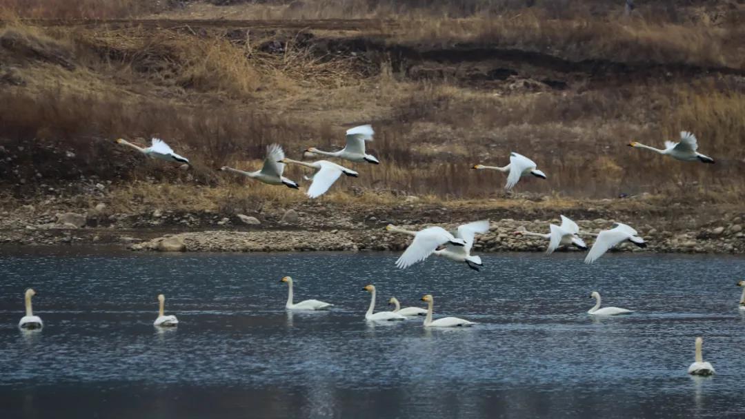 图4:迁徙到野三坡的白天鹅