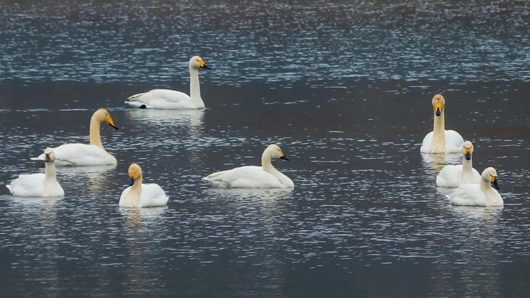 图3:迁徙到野三坡的白天鹅