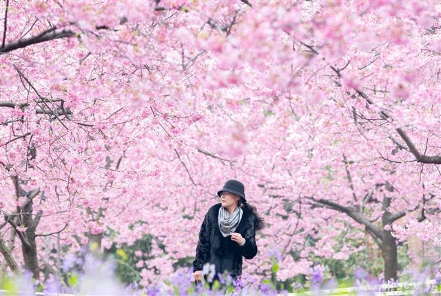 湖北40个赏樱景点发布 等您来打卡